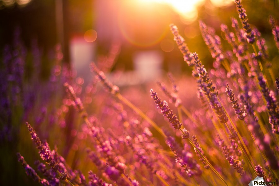 Sunset lavender flowers  Print