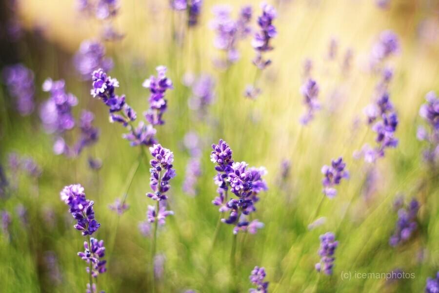 Lavender flowers  Print