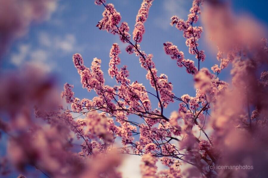 Spring cherry flowers  Print