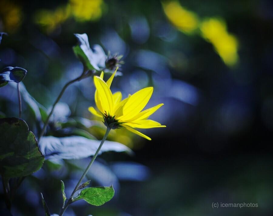 Yellow flowers  Print