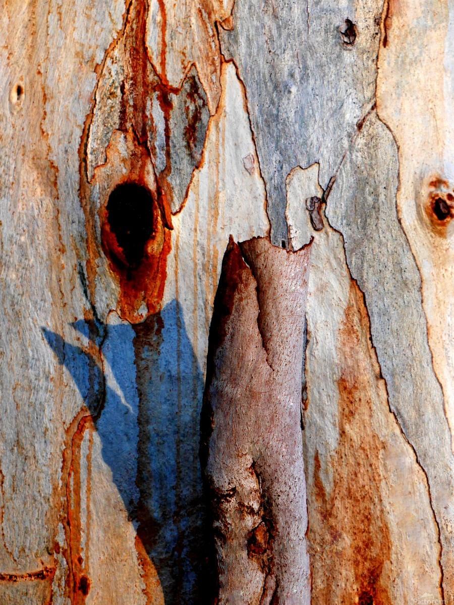 Murray Gum Tree Bark 5  Print