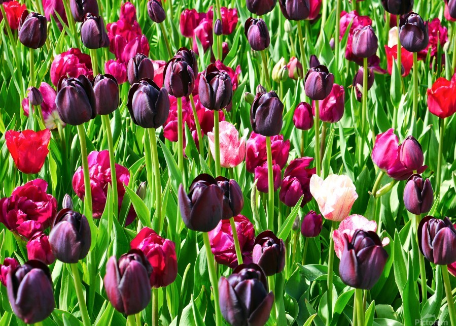Field of Tulips  Print
