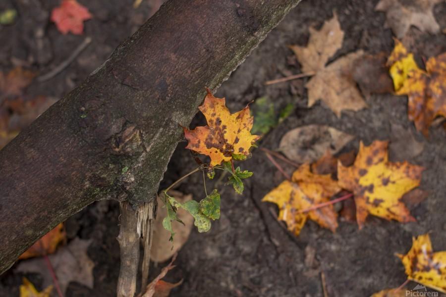 Fallen Leaves  Print