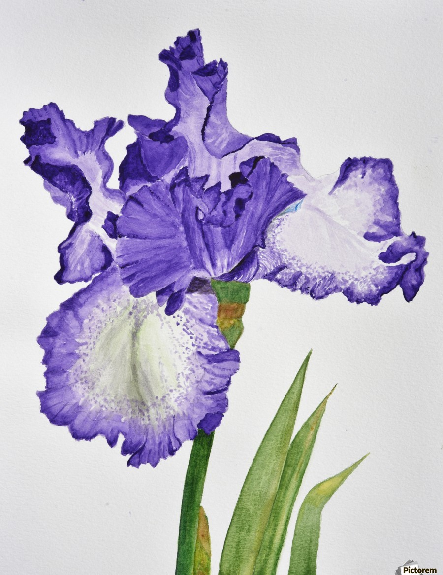 Violet iris flower with leaves linda brody canvas canvas print izmirmasajfo