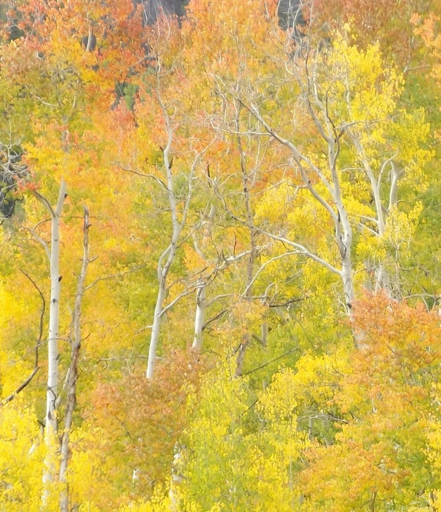 Changing Aspens - Vail Colorado  Print
