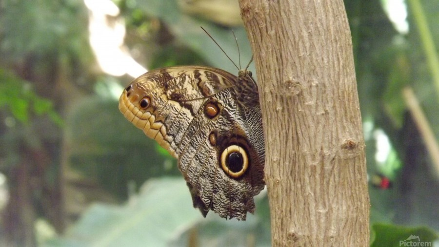 Giant Owl Butterfly on Tree  Print