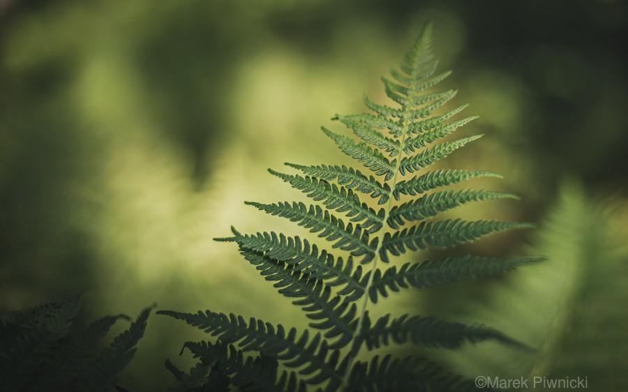 Green as the fern   Print