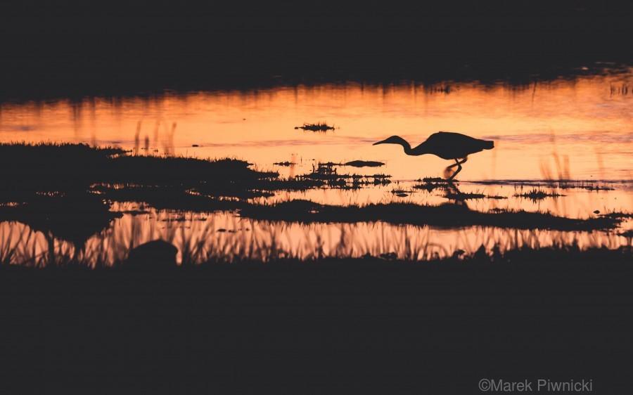 Heron hunt  Print