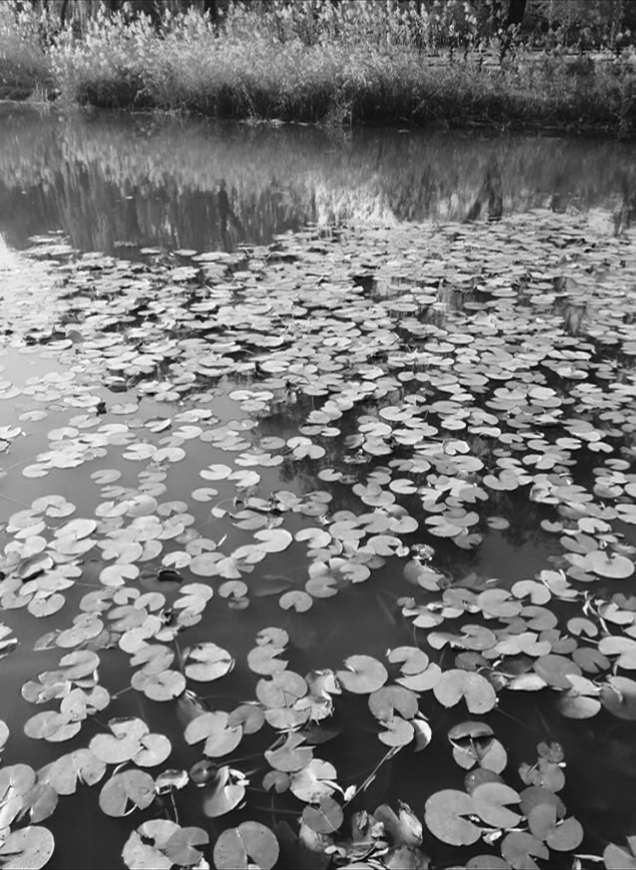 Weeping Lillies  Print