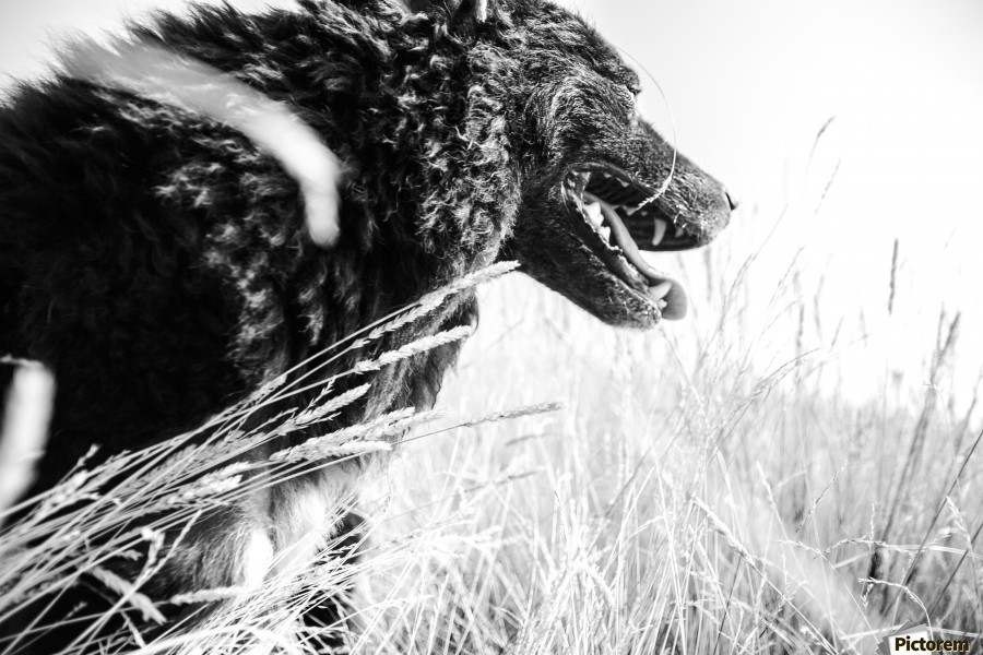 Wild days , Marko Radovanovic , dog, black, animal, fog, portrait, pulin, shepherd_dog, hungarian_sheep_dog, morning, light_brightness, white_mark, posing, happy_dog,nature, serbia,central_figure, open_mouth, grass, black_and_white, black&white, b&w, wind,