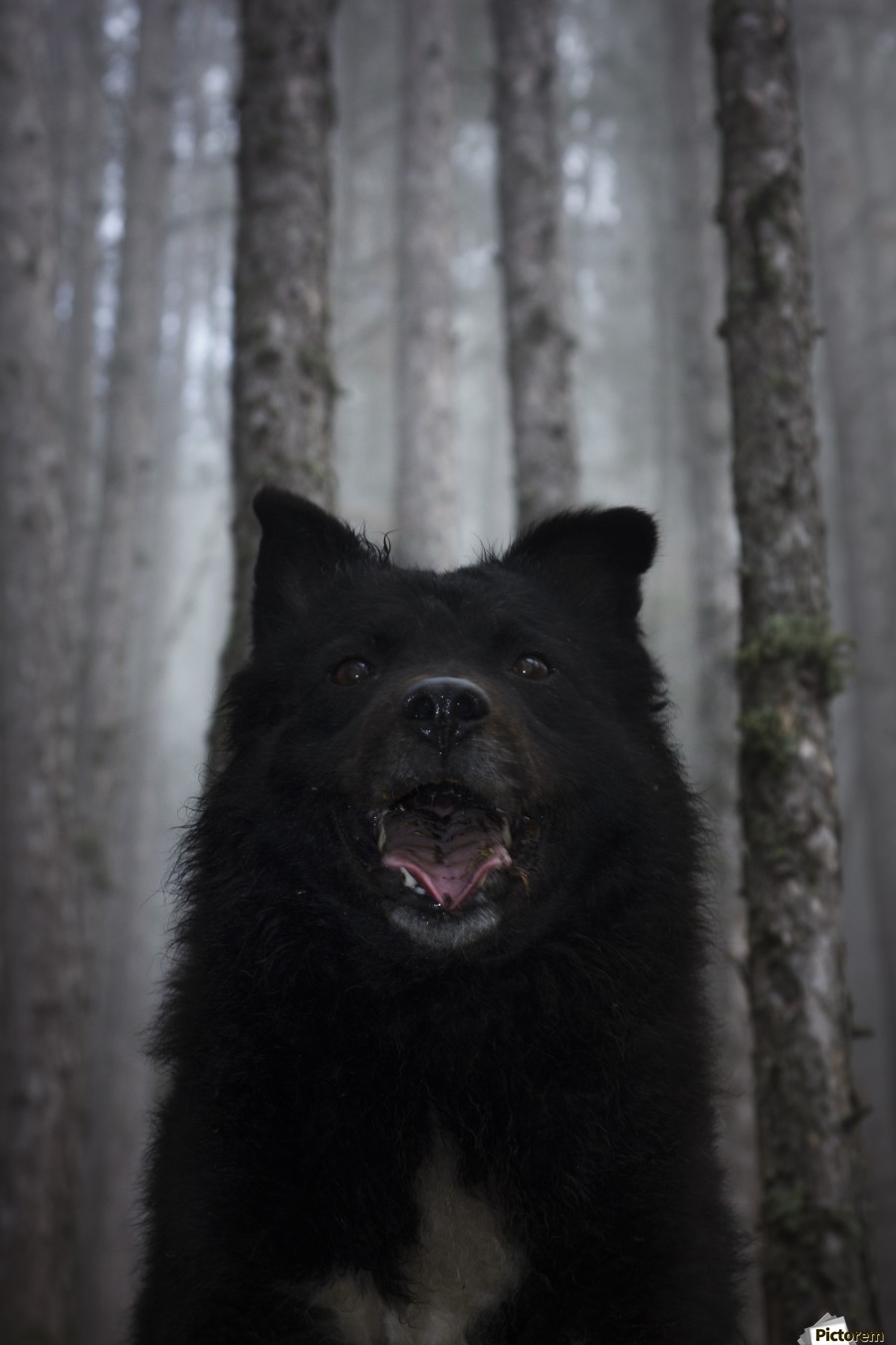 Home in forest  , Marko Radovanovic , dog, black, animal, forest, fog, portrait, pulin, shepherd_dog, hungarian_sheep_dog, pine, morning, light_brightness, white_mark, posing, straight, frontal, happy_dog, thick_forest, nature, serbia,central_figure, open_mouth,
