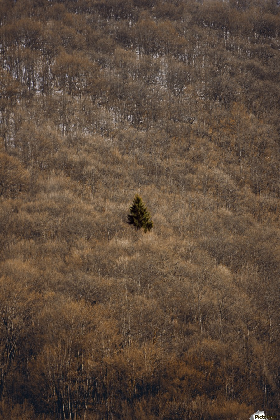 Why , Marko Radovanovic , alone, central, pine, tree, forest, isolated, winter, lonely, serbia, mountain, beech,
