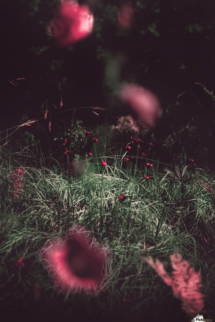 Redness  , Marko Radovanovic , flower, grass, red, red_flower, forest, deep, close_up, blur, out_of_the_focus, ground, dark, serbia,  close, nature, fine_art,
