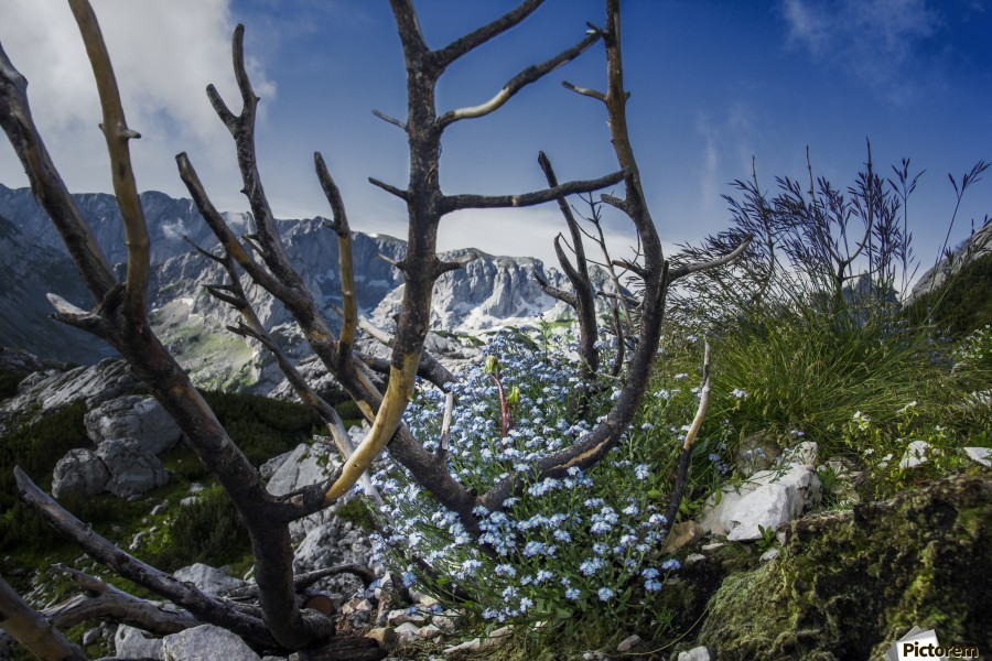 Flower of ashes  , Marko Radovanovic , flower, durmitor, ash, mountain, high, rock, burn, burned, fire, dead, blue, nature, natural, montenegro, hidden, blue_sky, branch,