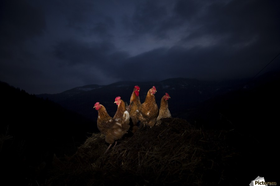 One to rule them all , Marko Radovanovic , rooster, chicken, five, together, night, lighting, central, reunion, family, pile, snow, cold, winter, mountain, hanging_around, company, side_view, portrait, posing, animals, beak, serbia, djakovo, village,