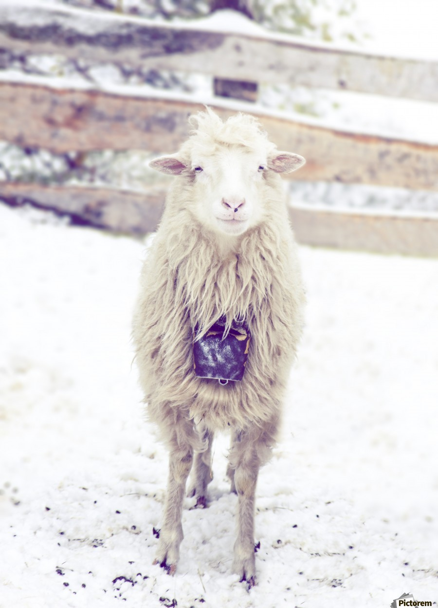 Thank you for the socks , Marko Radovanovic , sheep, wool. winter, snow, white, looking, curious, bell, around_neck, hanging, fence, village, serbia, djakovo, cold, frost, animal, cute, standing, sheepfold
