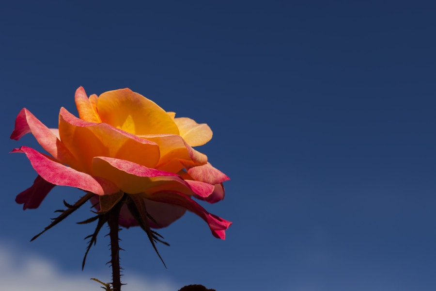 Pink and Orange Rose with Blue Sky  Print