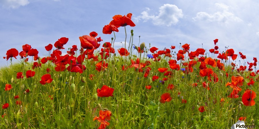 Field of Red Poppies  Print