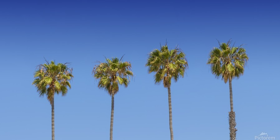 Lovely Palm Trees | Panorama  Print