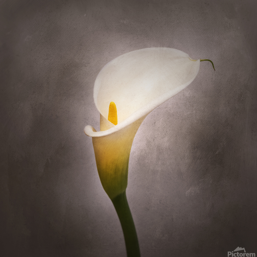 Graceful flower - Calla No. 4 | vintage style   Print