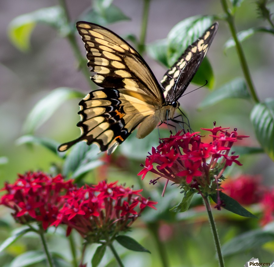 giant swallowtail butterfly melody rossi canvas