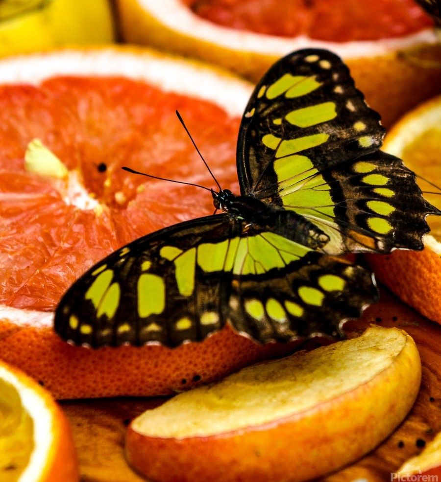 Butterfly And Oranges  Print