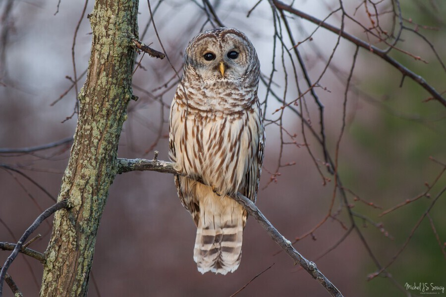 Barred Owl at sunrise.  Print