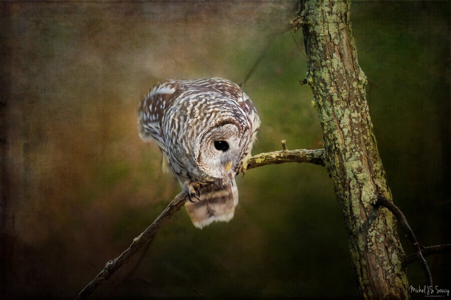 Barred Owl Eyeing Prey.  Print
