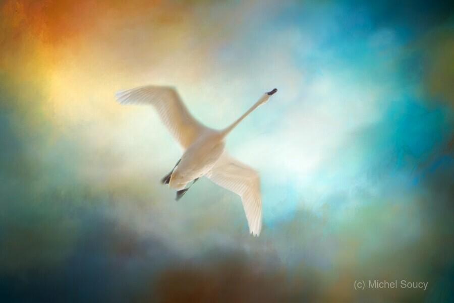 Swan Wings  Print