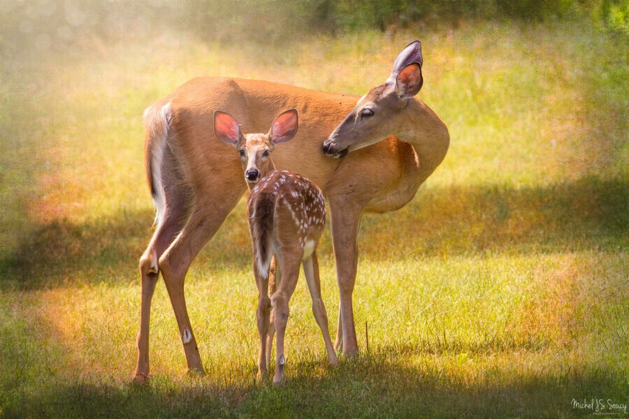 Doe with fawn looking back , Michel Soucy , animal,animals,cute,deer,doe,fawn,fawns,grass,mammal,mammals,nature,wild,wildlife,adorable,white,spots,young,bambi,ears,eyes,large,baby,beautiful,outdoors,looking,peeking,parent,parents,parenting,looking back,front faced art,green grass,summer,spring,big ears,portrait,outdoor,outdoors,photography,michelsoucy,michel soucy,