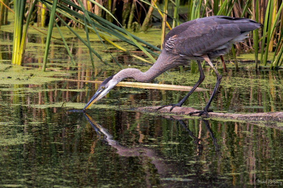 Great Blue Heron taking a Sip  Print