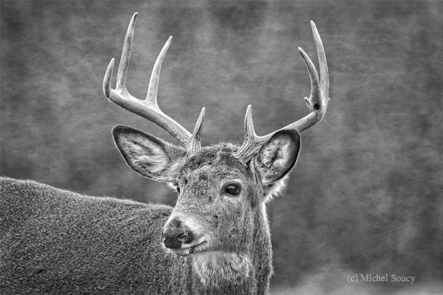Stud , Michel Soucy , Animal,B&W,Black and White,Michel (Mike) Soucy,Michel Soucy,White Tail Deer,White tail,animals,antlers,b/w,big ears,brown,buck,bw,curious,deer,doe,dominant,ears,eye,eyes,eyesbig eyes,front faced art,fur,grey,greyscale,handsome,head,horns,interested,large ears,looking,male,mammal,michelsoucy,monochrome,monotone,nature,outdoor,outdoors,peeking,peering,pretty,pretty eyes,profile,rack,racks,stare,staring,summer,texture,textured,textures,watchful,watching,weeds,whitetail,wild,wildlife,winter,woods,