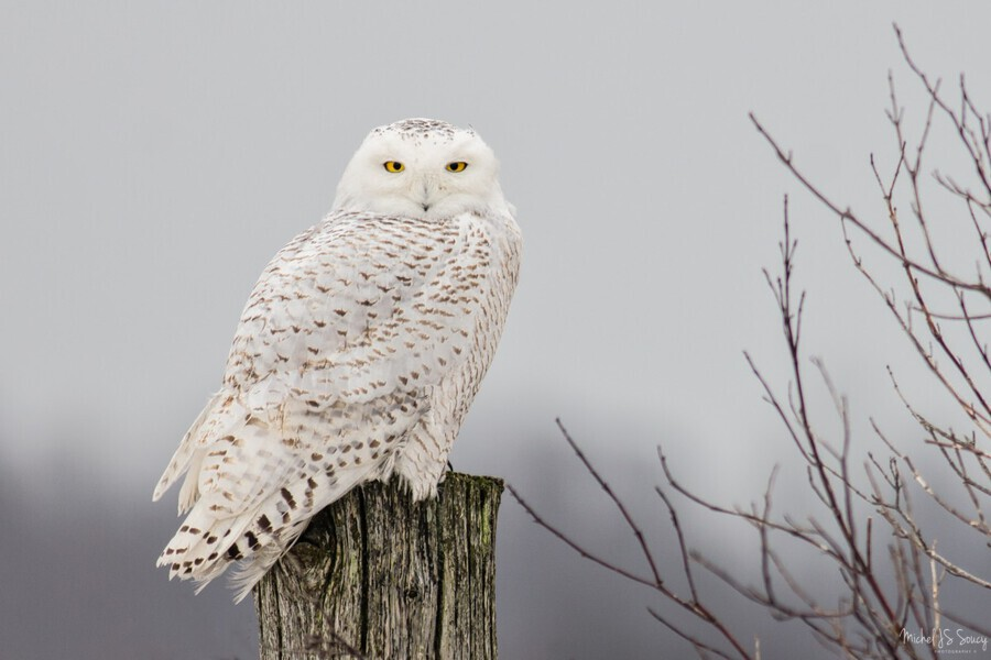 Snowy Owl on the Fence  Print