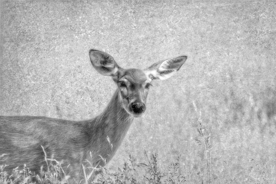 Pretty Doe , Michel Soucy , animal,animals, deer,doe,female,girl,females,mammal,mammals,bw,b&w,black and white,greyscale,monotone,nature,outdoor,outdoors,photography,michelsoucy,Michel Soucy,wildlife,wild,cute,beautiful,pretty