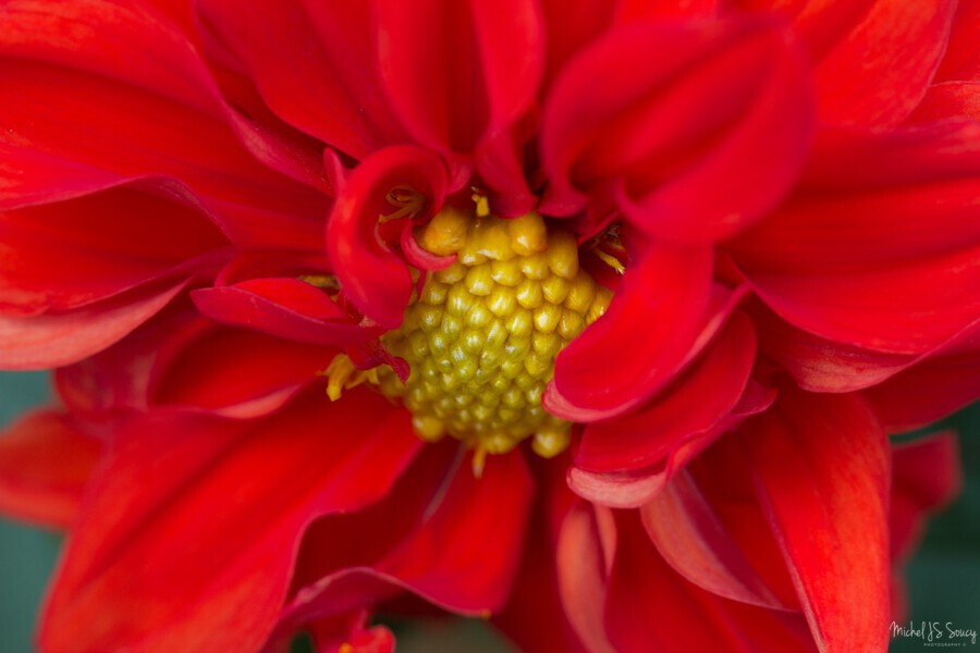 Red and Yellow , Michel Soucy , dahlia,dahlias,flower,colors,colours,floral,florals,flowers,gardening,horticulture,nature,outdoors,petals,pretty,red petals,vibrant,yellow stamen,reds,yellows,petal,vibrant,color,colors,horizontal,michelsoucy,Michel Soucy,photography