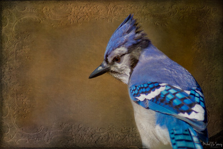 Blue Jay with texture , Michel Soucy , Animal, animal photography, animal portraits, animals, Autumn, avian, beak, beautiful, bird, bird photography, bird watching, birders, birding, birds, blue, Blue Jay, blues, colors, crown, eyes, feather, feathers, gorgeous, jay, jays, Michel (Mike) Soucy, Michel Soucy, michelsoucy, nature, outdoors, pensive, perched, photography, Royal, stunning, texture, textured, textures, thoughtful, wild, wildlife