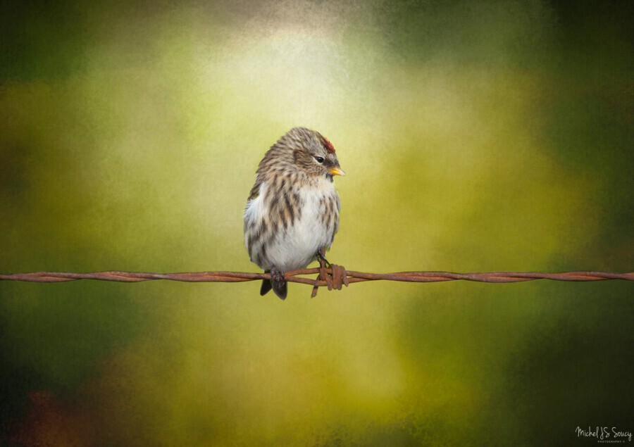 Redpoll on a Wire , Michel Soucy , female,michel (mike) soucy,michel soucy,alone,avian,barbed wire,bird,bird watching,birders,birding,birds,brown feathers,feather,feathers,head,michelsoucy,nature,one,outdoors,portrait,photography,preched,profile,red feathers,red spot,redpoll,single,small bird,small birds,solitary,solo,songbird,songbirds,strand,strands,texture,textured,textures,twisted wire,wild,wildlife,animal,animalsA solitary female RedPoll perched on a strand of barbed wire.   Multiple textured layers from the Jai Johnson collection has been used in this creation.   Legal & Copyright All images and content contained here are the exclusive property of Michel Soucy and are protected by U.S, Canadian and International Copyright Law. Images may NOT be copied, reproduced, or used in ANY way without prior written permission. All Rights Reserved.