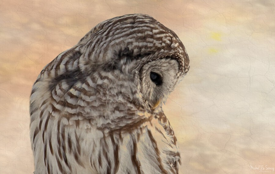 Glowing , Michel Soucy , Animal, animals, atop, avian, Barred Owl, Barred Owls, beak, bird, bird of prey, bird watching, birders, birding, birds, birds of prey, branch, bright, carnivore, carnivores, close up, close-up, eyes, feather, feathers, glow, glowing, head and shoulders, horizontal, Michel (Mike) Soucy, Michel Soucy, michelsoucy, nature, outdoor, outdoors, owl, owls, perched, pink, pinks, predator, predatory, raptor, raptors, texture, textured, textures, tree, wild, wildlife, winter, yellow, yellows
