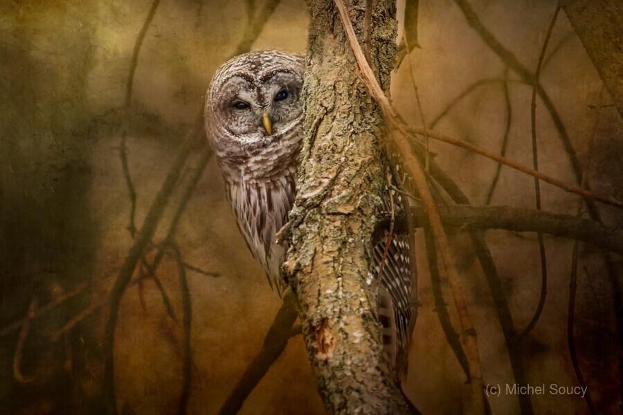 I See You , Michel Soucy , Animal, animals, avian, Barred Owl, Barred Owls, beak, bird, bird of prey, bird watching, birders, birding, birds, branch, branches, cold, eyes, feather, feathers, hoot, hooter, looking, Michel (Mike) Soucy, Michel Soucy, michelsoucy, natural world, nature, outdoor, outdoors, owl, owls, peek, peek-a-boo, peeking, peeks, perched, portrait, raptor, snow, stare, stares, staring, texture, textured, textures, tree, wild, wildlife, winter, wise owl
