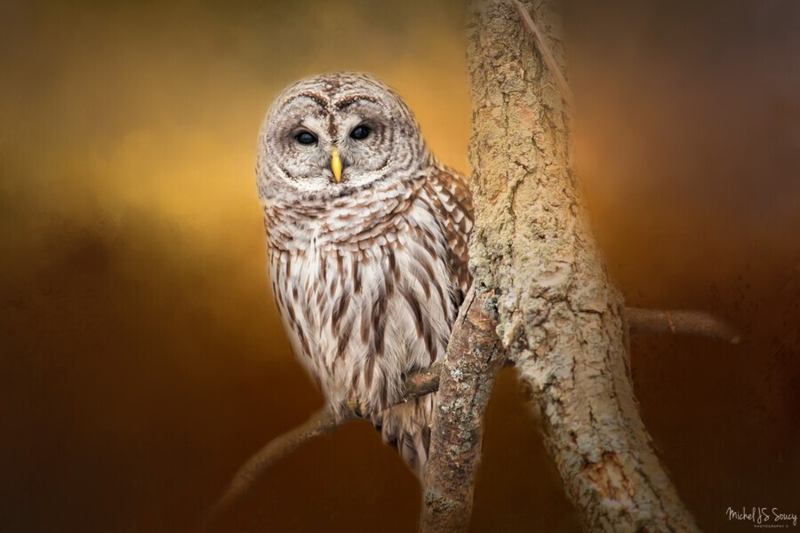 Seen , Michel Soucy , Animal,Barred Owls,Michel Soucy,animals,avian,bird,bird of prey,bird watching,birders,birding,birds,branch,cold,eyes,feather,feathers,hoot,hooter,looking at me,looking at you,michelsoucy,nature,outdoor,outdoors,owl,owls,perched,portrait,raptor,seen,texture,textured,tree,wild,wilderness,wildlife,winter,wise owl,