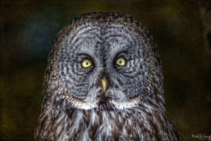 Stare Down with a Great Grey Owl , Michel Soucy , animal portrait,animals,avian,beak,bird,birds,bird of prey,bird watching, birders,birding,birds of prey,branch,brown feathers,close up,close-up,conservation,eyes,face,feather,feathers,great gray owl,great grey owls,grunge,head,hunter,hunts,looking,looks,michel (mike) soucy,michel soucy,michelsoucy,nature,outdoor,outdoors,owl,owls,perched,photography,predator,predators,raptor,raptors,stare,stares,staring,texture,textured,textures,watching,wide eyed,wild,wildlife,wise owl,yellow eyes