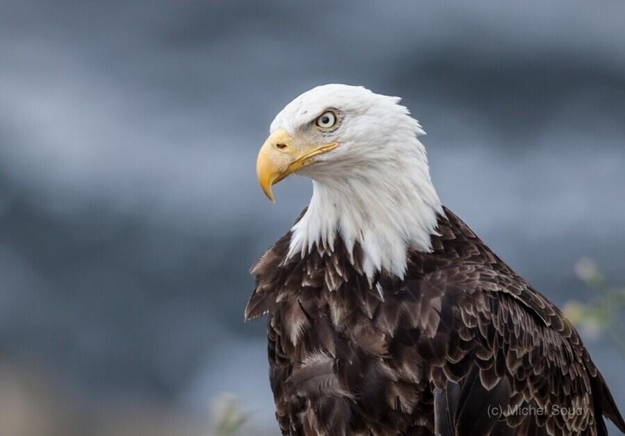 Portrait of an Eagle  Print