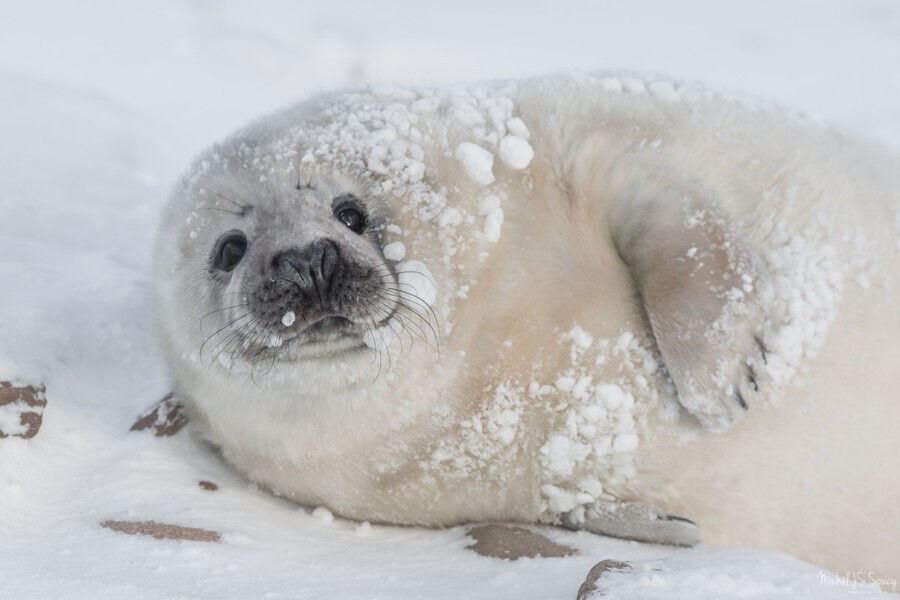 You can call me Snowball! , Michel Soucy , adorable, Animal, animal portraits, animals, aquatic mammal, aquatic mammals, baby, big eyes, Cape Breton, Cape Breton Island, Cheticamp, Cheticamp Harbor, Cheticamp Harbour, cold, cute, eyes, Grey Seals, large eyes, lovable, mammal, Michel (Mike) Soucy, Michel Soucy, michelsoucy, moustache, nature, nose, Nova Scotia, outdoor, outdoors, portrait, sea, seal pup, seals, snow, snowball, snowballs, snowy, whiskers, white coat, wild, wildlife, winter, young