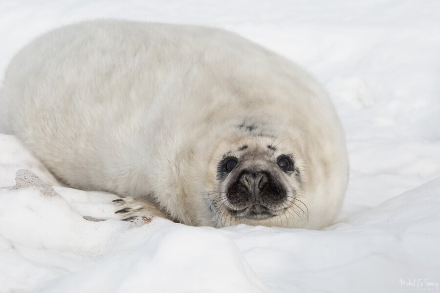 Hello , Michel Soucy , adorable, Animal, animals, aquatic mammal, aquatic mammals, Cape Breton Island, Cheticamp, cold, curious, cute, eyes, Grey Seal, Grey Seal pup, innocence, innocent, looking, looking back, mammal, Michel (Mike) Soucy, Michel Soucy, michelsoucy, nature, Nova Scotia, outdoors, peering, photography, save the seals, sea, seal, snow, stare, staring, vulnerable, whiskers, white coat, white fur, wild, wildlife, winter, young