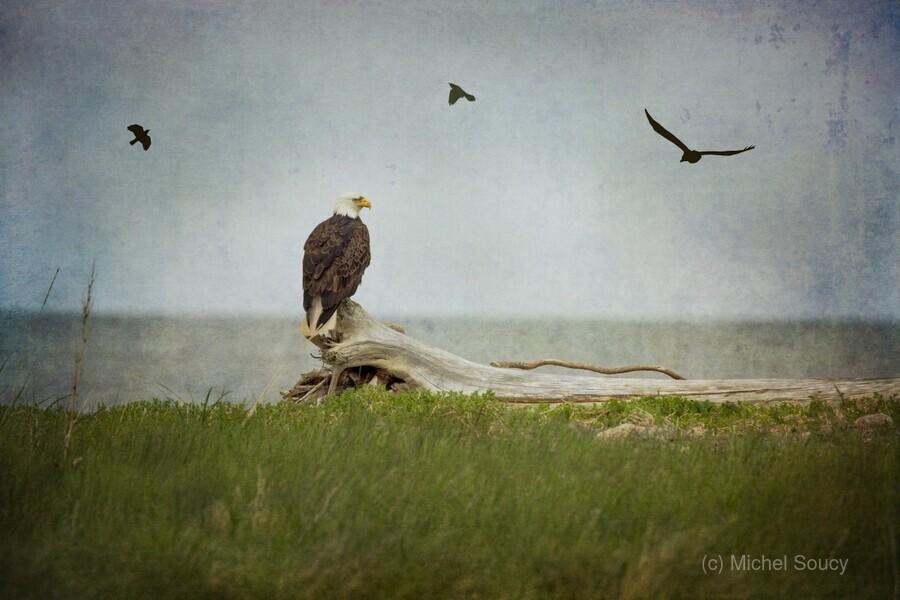 Bald Eagle on Tree Trunk  Print