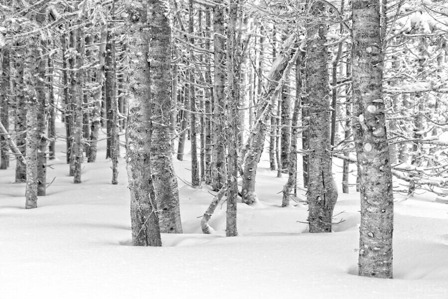 Pines at the Skyline Trail , Michel Soucy , b&w,beauty,black and white,cape breton highlands national park,cape breton island,neutral,nova scotia,branches,bright,day,daylight,daytime,deep snow,greyscale,ground,lines,michelsoucy,michel soucy,monotone,nature,outdoor,outdoors,pine,pine tree,pine trees,pine trees with snow,pines,photography,skyline,snow,standing,straight,trees,winter,winter scene,winter scenes