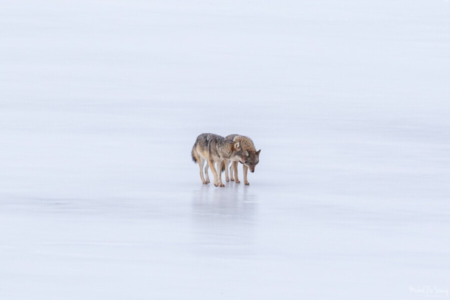 Two Coyote , Michel Soucy , animal,cape breton,cape breton island,cheticamp,michel (mike) soucy,michel soucy,nova scotia,animal face,animals,canine,cold,coyote,coyotes,dog,eastern coyote,eastern coyotes,frozen lake,fur,hunting,ice,mammal,mammals,michelsoucy,minimalism,nature,outdoors,pair,photography,snow,standing,strolling,stroll,togetherness,two,twosome,walking,walks,white background,wild,wilderness,wildlife,winter