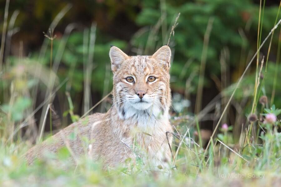 Wild Bobcat  Print