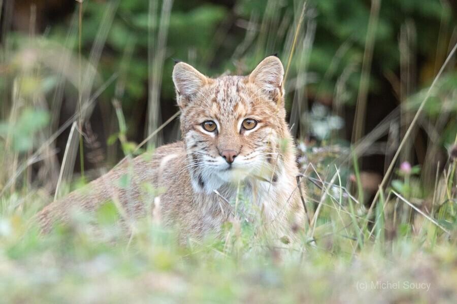 Curious Bobcat  Print
