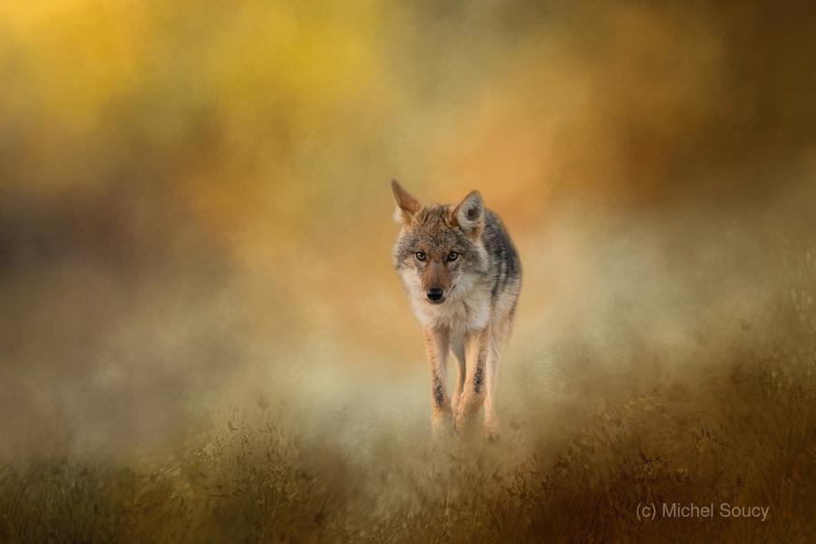 Strolling Coyote  Print